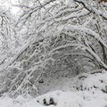 2008 10 30 Arbre pliés par le poid de la neige grasse sur le chemin qui mène au sommet du Pic du Lizieux