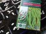 17-haricots semis (4)