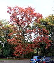 180px_Quercus_rubra___Tortworth_Court
