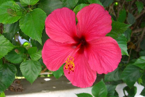 Fleur D Hibiscus Photo De Voyage Fabrizzio Le Jardinier