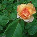 Rosier jaune abricot