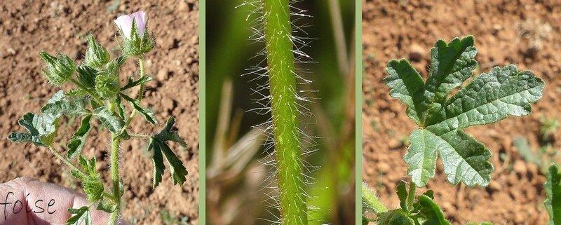 hérissée de poils raides feuilles à 3-5 lobes crénelés-dentés