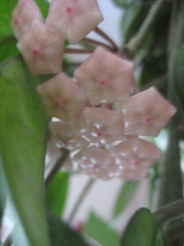 fleurs de porcelaine fermées