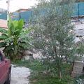 olivier et bananier