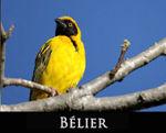 LIEN_belier