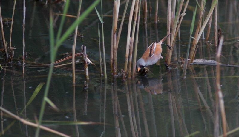 Haut Aragon juin 2017 J3 lagune Saranina 8 oiseau panure