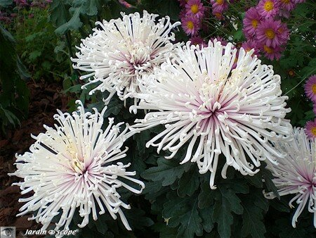 Chrysantheme_7