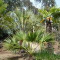 Des palmiers à Roscoff