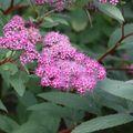 2009 07 07 Spirée en fleur