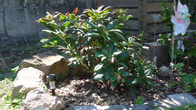 entretien du rhododendron les fleurs ont une me. Black Bedroom Furniture Sets. Home Design Ideas