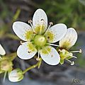 Saxifrage rude