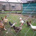 Mes poules et mes canes