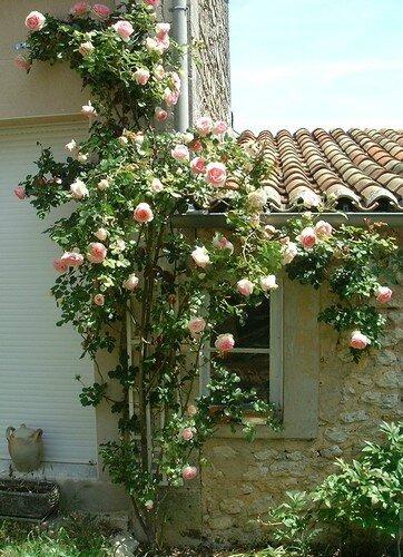 rosier-pierre-de-ronsard-2