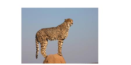 guepard_2