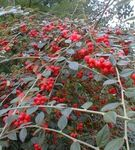 COTONEASTER_franchetii2