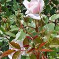 Un rosier pour un célébre couturier - parfumeur ....