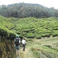 Montagnes :plantations de thé