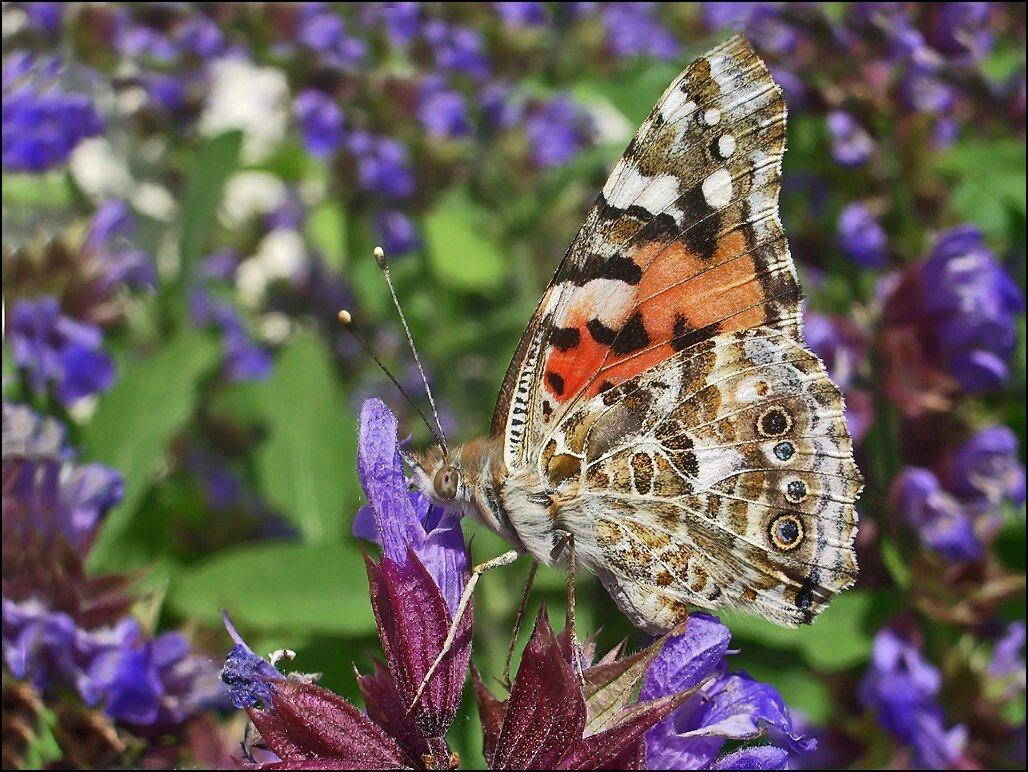 Le vieux papillon.