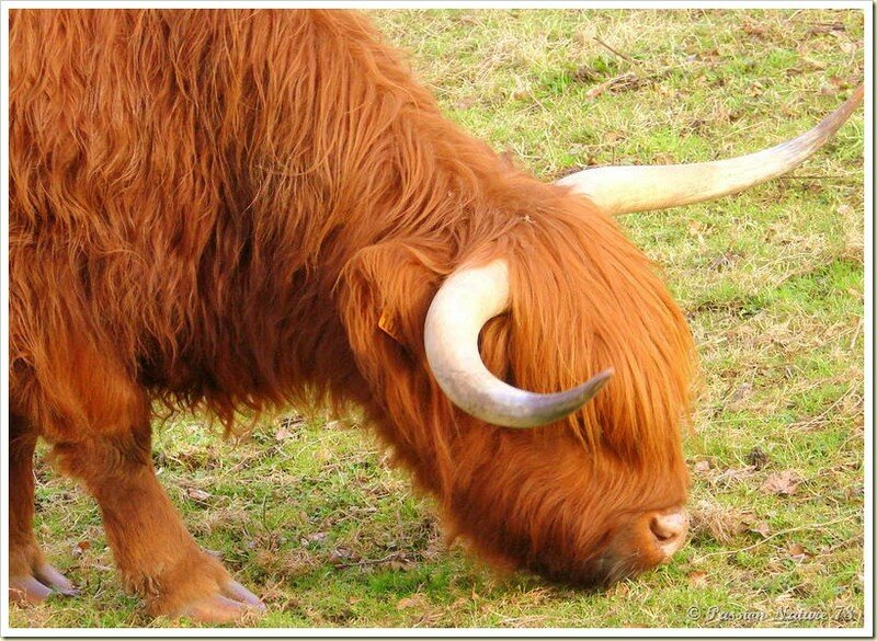 La vache de race Highland (12)