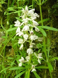orchis_blanche