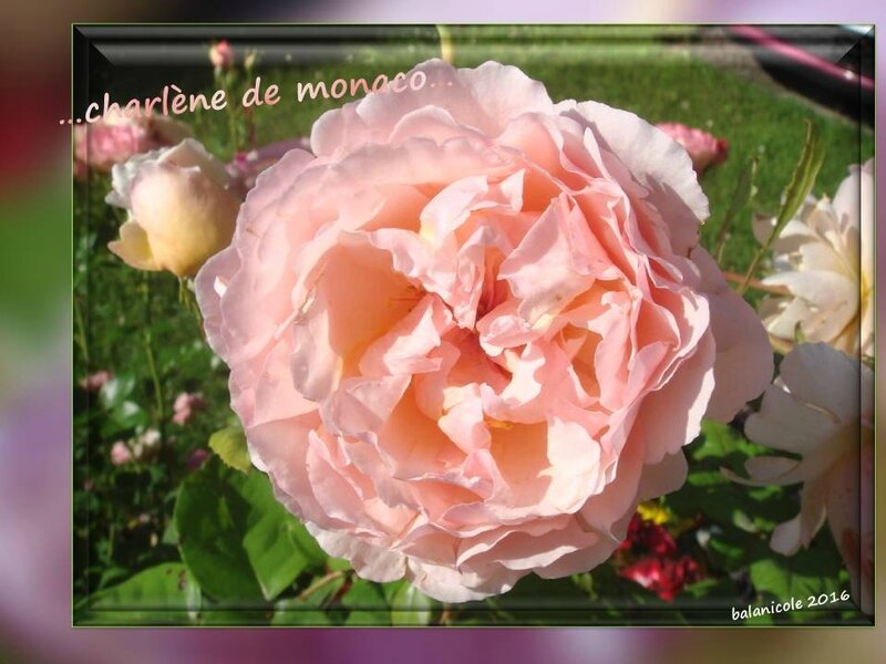 balanicole_2016_11_les nouveaux rosiers de balanicole_c comme charlène de monaco_01