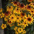 2009 08 25 Rudbeckias en fleurs