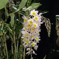 orchidées 2010 009