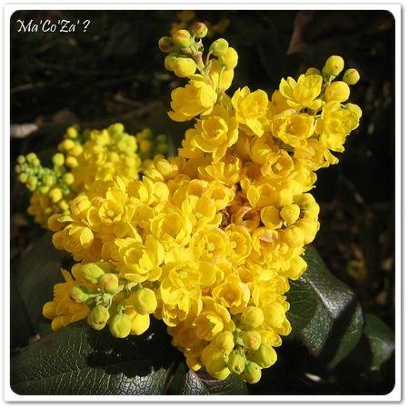 Petites fleurs jaunes du houx