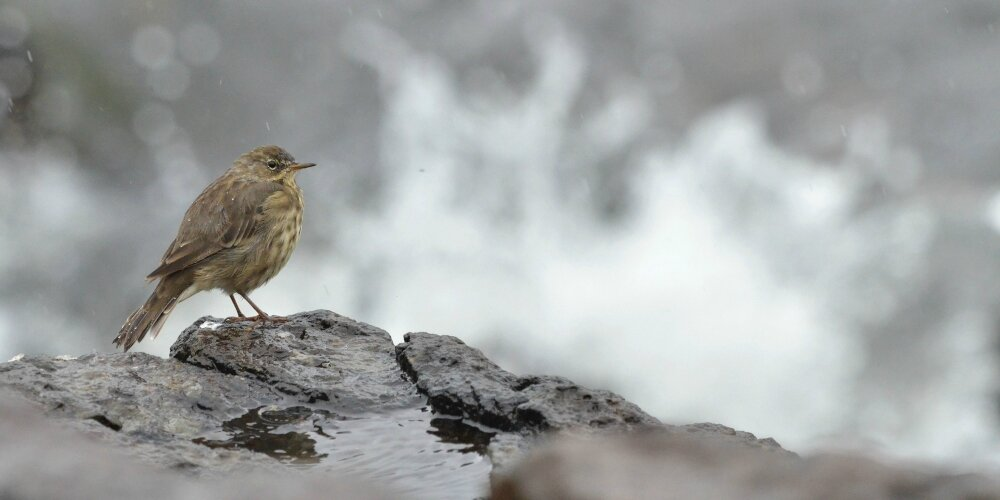 "Un Pipit Farlouse et une ""String Woman From The Sea"" en baie de Calgary, Mull island."