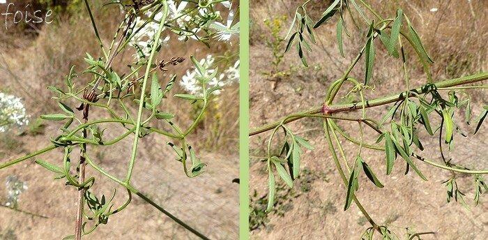 feuilles opposées pétiolées bipennées folioles petites entières