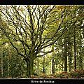 Brocéliande - hêtre de ponthus ii