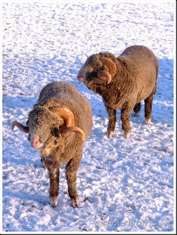 Moutons de Mérinos (1)