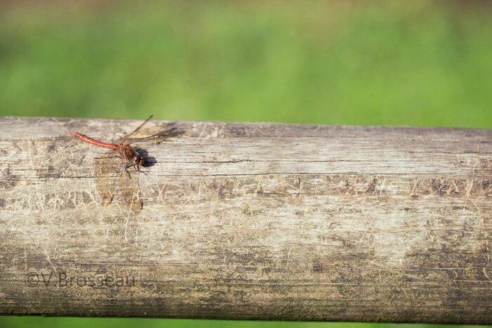 libellule-sympetrum-rouge15-02