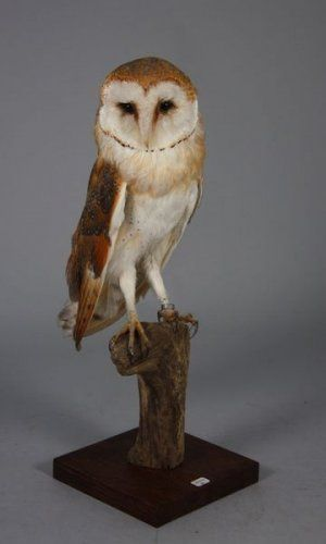taxidermie chouette