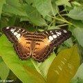 Parthenos sylvia • Nymphalidae • Philippines