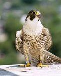 488px_Peregrine_falcon_x