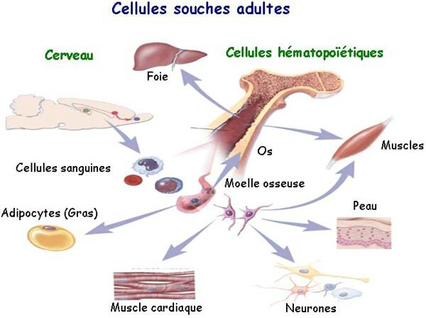 cellule_souche