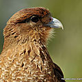 Caracara chimango - photos