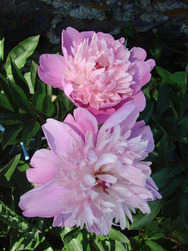 2008 06 28 Deux fleurs de Pivoine