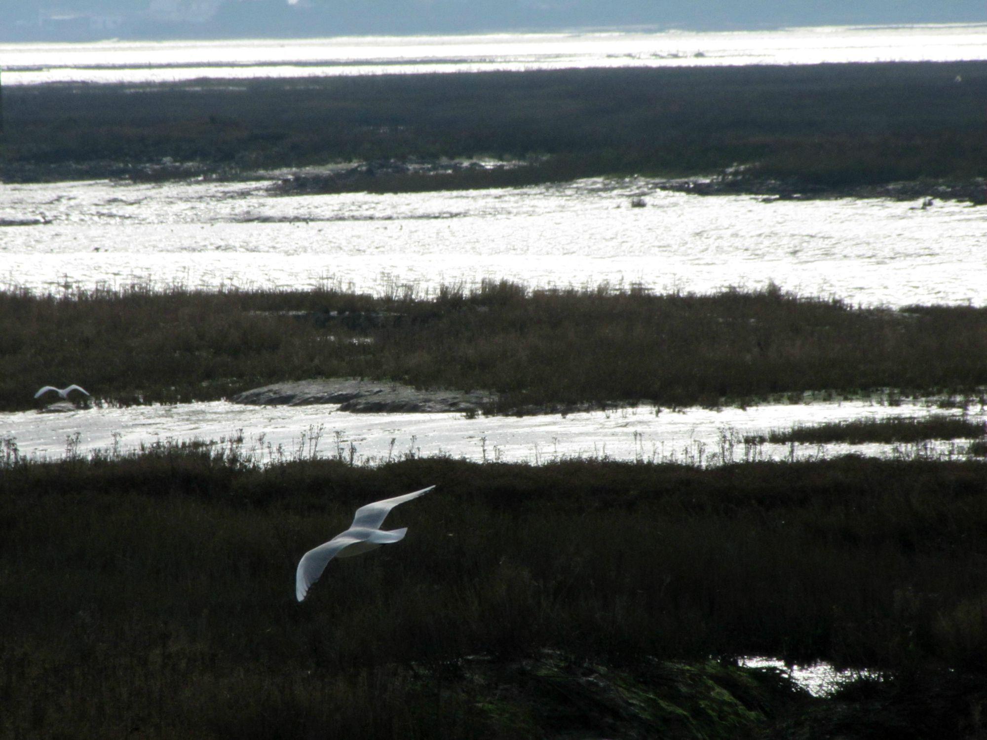 Oiseaux ile de re mouette spectrale foto Mo2 (14)-h1500