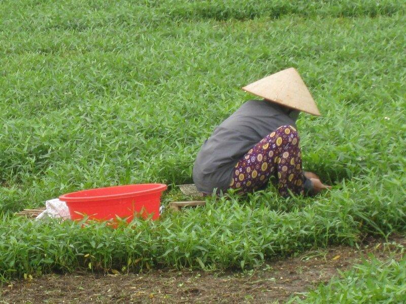 paysans dans les rizières