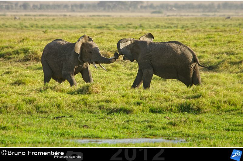 Elephants fighting 800 B