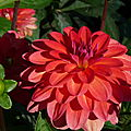 dahlias en fte