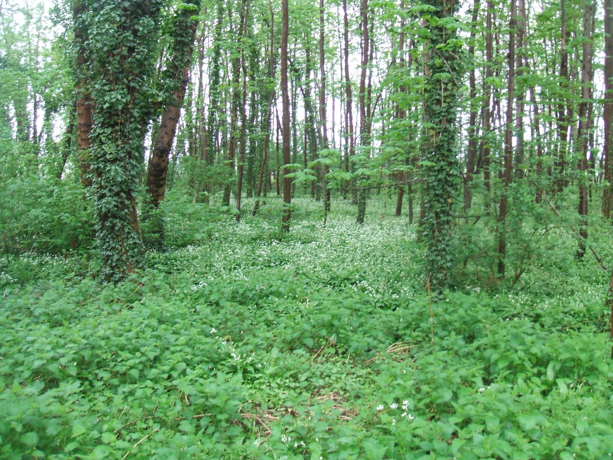 Fleurs blanches des sous bois printemps - Jonquille sauvage des bois ...