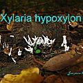 Xylaria hypoxylon.