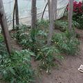 2009 05 31 Mes tomates sous serre