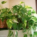 Le Pothos, une plante d