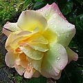 Rose 2205166