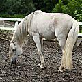 L'andalou ou cheval de pure race espagnol