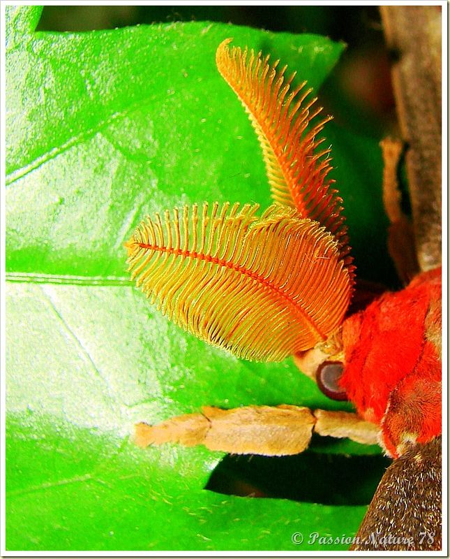 Papillon Attacus Atlas ou Bombyx Atlas (23)